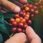 What's organic coffee