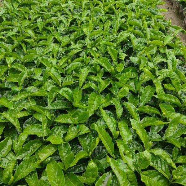 ¿Qué es un café orgánico?